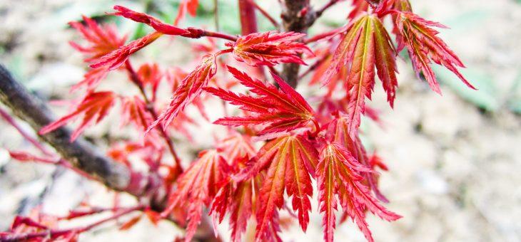 Acer palamatum 'Atropurpureum'